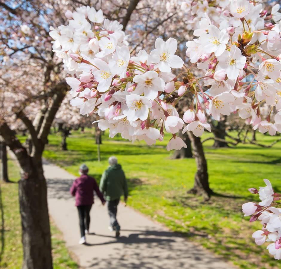 Christchurch Spring Walking Amongst Blossom