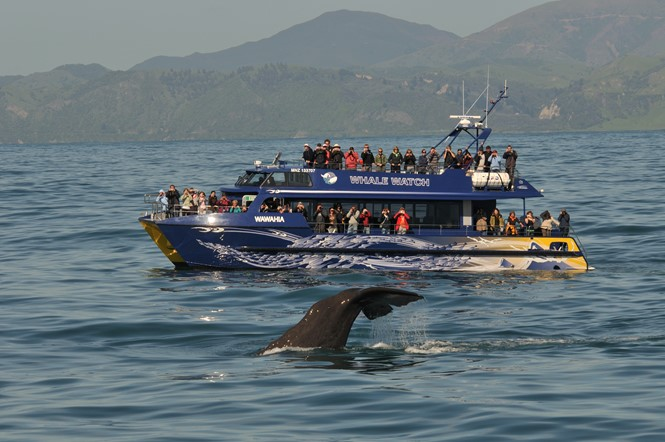 Whale diving in Kaikoura