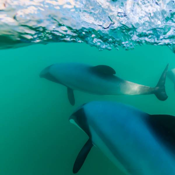 Hector's Dolphins in Akaroa Harbour