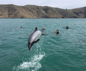 Amazing Hector's Dolphin Jump in front of swimmers.
