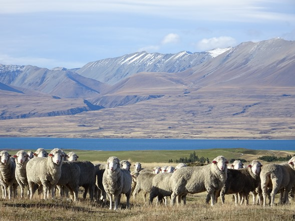 Visiting New Zealand's most prized Merino Sheep Stations. Glenmore Station